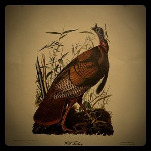 BEAUTIFUL Reproduction of WILD TURKEY